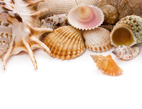 Shells. Sea shells against white background royalty free stock image
