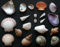 Shells. Australian shells, found at the beaches