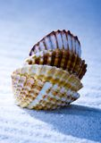 Shells Royalty Free Stock Photo