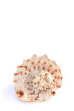 Shells. Different shells isolated on a white background Royalty Free Stock Image