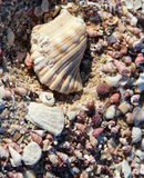 Shells. Mass of periwinkle sea shells and a large shell Stock Photo