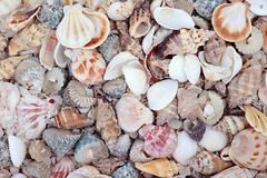 Shells. Background from a large number of beautiful variety of seashells Stock Photography