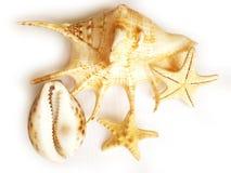 Shells Royalty Free Stock Image
