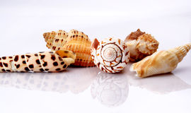 Shells. Against white background with inverted reflection Stock Photography