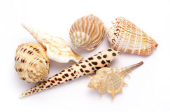Shells. Against white background Royalty Free Stock Photos