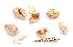 Shells. Against white background Stock Photography