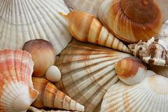 Shells. Sea life - background from some shells Royalty Free Stock Photography
