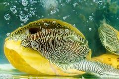 Shells Atlantic triton trumpet mollusk Stock Image