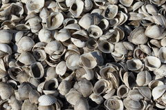 Shells background. Sea land covered with shells Stock Photos
