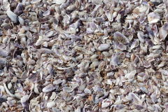 Shells background. Sea land covered with shells Stock Photo