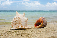 Shells on the beach. Two shells on the beach with the ocean in background Royalty Free Stock Photos