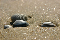 Shells on the beach. A few shells on the beach Royalty Free Stock Image