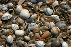Shells on the beach. A pile of shells has been washed upon the shore Stock Photo