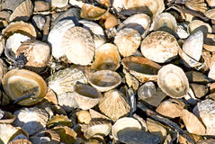 Shells on the beach. A variety of mollusks shells on the beach Royalty Free Stock Photos
