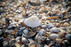 Shells on the beach. A photo of lots of shells on the beach Royalty Free Stock Image