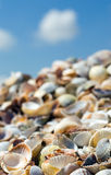Shells on a beach. Sea shore covered with shells, macro Stock Photos