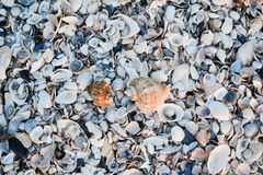 Shells on the beach. Background Royalty Free Stock Images