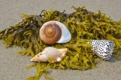 Shells on a beach Stock Image