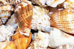 Shells from Beach. Close Up of Variety of Sea Shells from Beach. Sea Shells Background Royalty Free Stock Photography