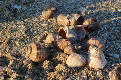 Shells on the beach. Sea shells at the Black Sea Stock Image