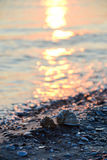 Shells on the beach. Two shells on the shore Royalty Free Stock Photography