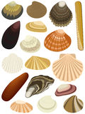 Shells bivalve Stock Photos