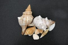 Shells on Black Sand. Mixed Sea Shells isolated on a black sand background Royalty Free Stock Photography