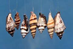 Shells on blue. Shells on a sting against blue background Royalty Free Stock Image