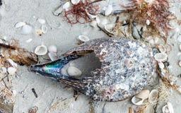 Shells on Captiva Island, Florida Stock Photos