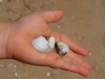 Shells in child's hand Royalty Free Stock Photography