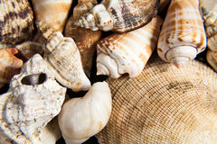 Shells close up Stock Photography