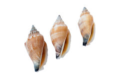 Shells of the Common Whelk Stock Photo