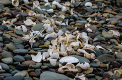 Shells and crustacean remains on beach Royalty Free Stock Image