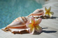 Shells & Frangipanis. Two shells with frangipanis beside a swimming pool in the afternoon summers sun Royalty Free Stock Photo