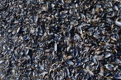 Shells. A full of black sheels floor Royalty Free Stock Images