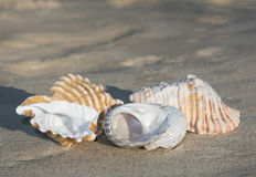 Shells on full sand background Stock Image
