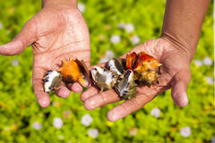 Shells in Hand Royalty Free Stock Photo