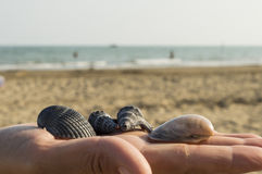 Shells. On hand with the background the sea and the beach Stock Photography