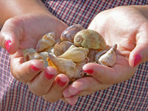 Shells in hands. Holding shells in both hands Royalty Free Stock Image
