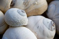 Shells I van de Slak van de maan Stock Afbeelding