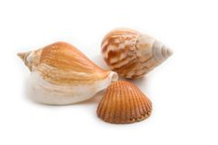 Shells isolated Royalty Free Stock Photo