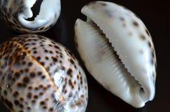 Free Shells Of Cypraea Tigris Royalty Free Stock Photos - 56887478