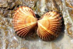 Shells op bruine steen - Stock Foto's