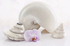 Shells and orchidls. Shells, cone,Nautilus and orchid on sweet background Stock Photos