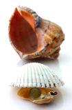 Shells with pearl and Rapana isolated Royalty Free Stock Photo