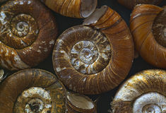 Shells of  ramshornsnails #1 Royalty Free Stock Images