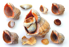 Shells and Rapana isolated Stock Images