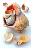 Shells and Rapana  Stock Photography