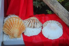 Shells on red velvet. Some shells on red velvet Royalty Free Stock Photography