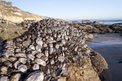 Shells on Rock. Shells on a rock at El Matador Beach, LA, California Stock Photos